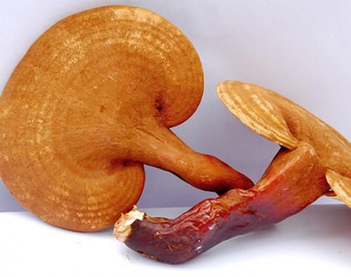Ganoderma il fungo della longevità